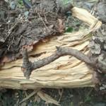 松の木が折れたのは白蟻が原因でした