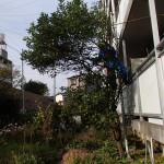 思い出の木の伐採