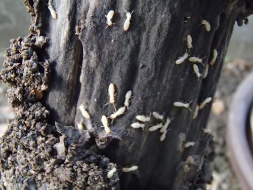 薬剤を使わない白蟻消毒ベイト工法