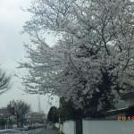 サクラ三月、花満開北九州!