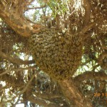 ミツバチの駆除