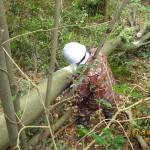 本日、大木の伐採を北九州市八幡西区にて