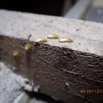 イエシロアリ、兵蟻の徘徊!
