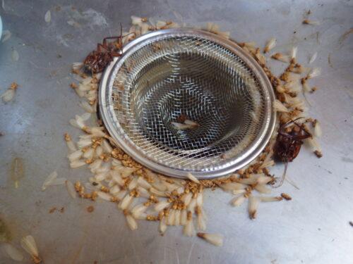 ハネアリに似た虫が家で大量に出た|これはやらないで!