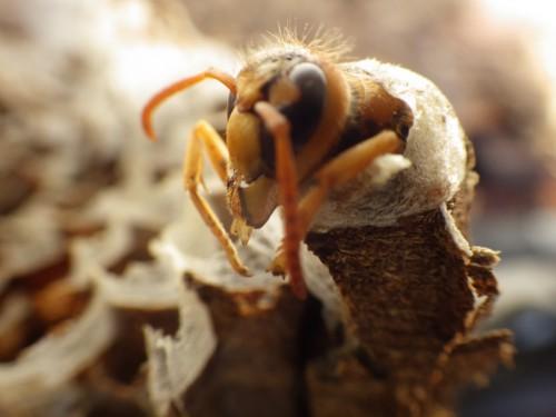 ハチ駆除|ミツバチ、アシナガバチ、スズメバチ、の駆除について