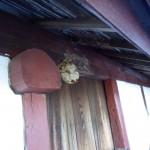 たったの12日でスズメバチの巣が再生