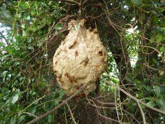 スズメバチの駆除を小倉北区にて