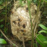 スズメバチの駆除に行ってまいりました
