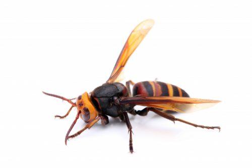 小屋裏のスズメバチ駆除を八幡西区にて
