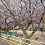 桜の花が満開のなか、四月朔日詣り