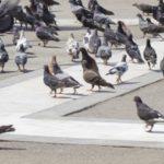 <b>鳩のフン害に困って駆除を検討の時に役立つ記事</b>