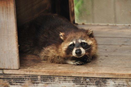 夜中に動き回る屋根裏の害獣はアライグマでした