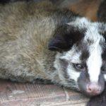 屋根裏動物のハクビシンが我家にも?見分け方や対策、駆除方法