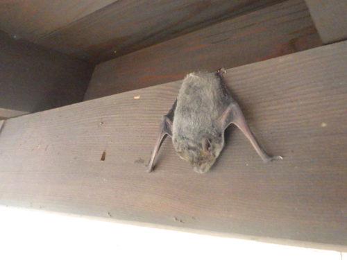 コウモリによる被害は厄介。日本に生息するコウモリの正体とは?