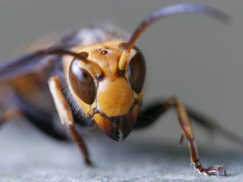 自分でスズメバチ駆除は危険!生態・対策・対処・駆除方法について